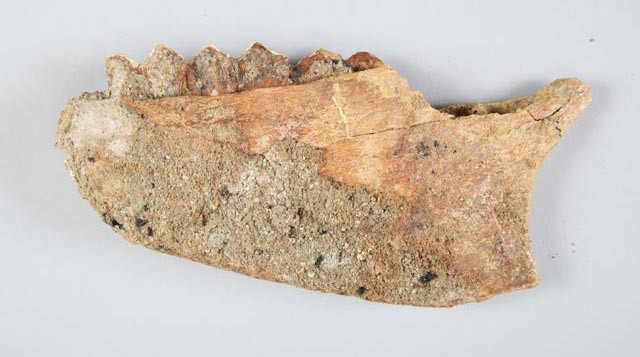 Extinct American camel (Camelops hesternus) mandible fragment
